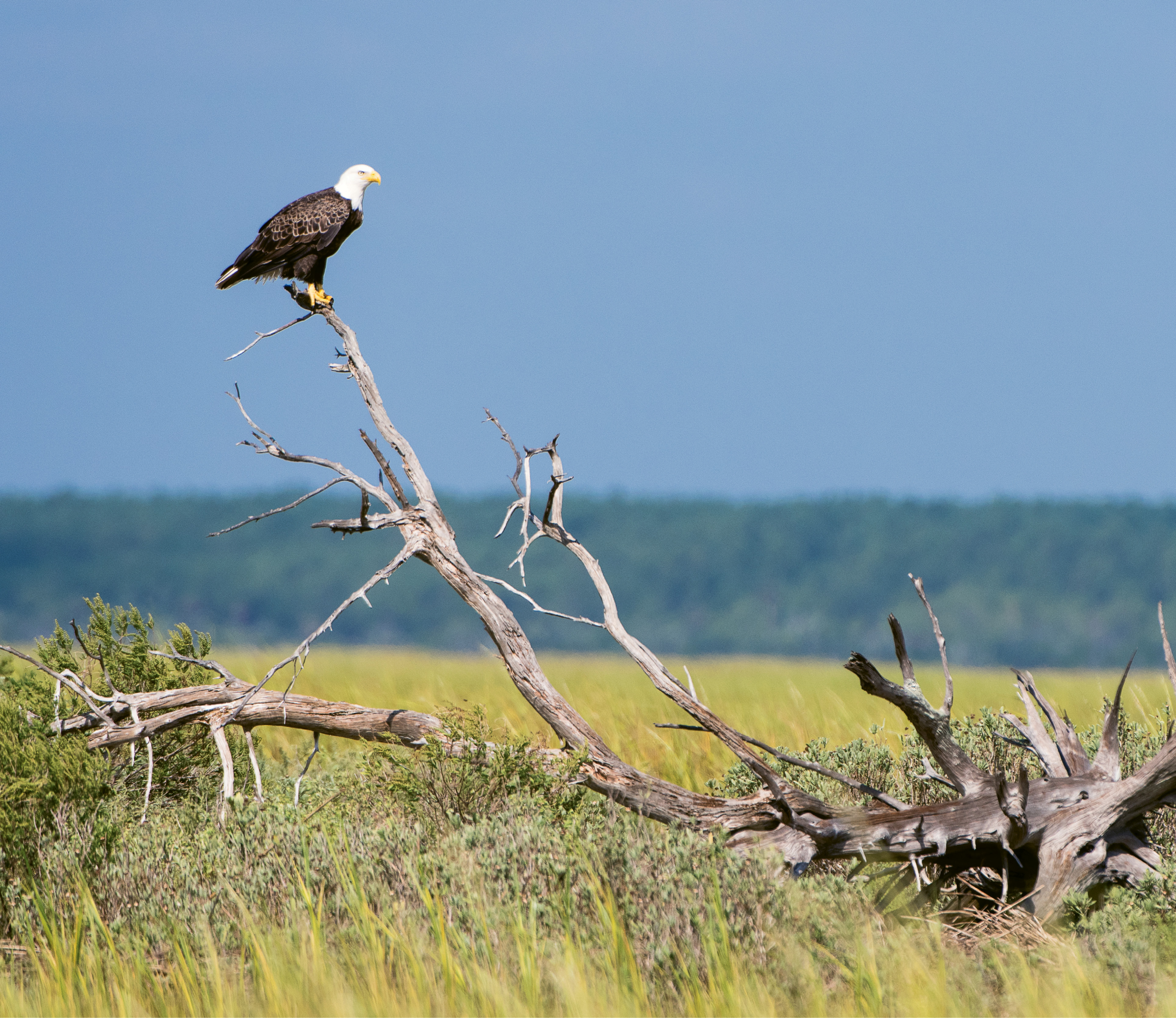 """Bald Eagle (Haliaeetus leucocephalus) - A wild eagle in Cape Romain National Wildlife Refuge near Bulls Island; Learn more about the Center for Birds of Prey and how you can help at <a href=""""http://www.thecenterforbirdsofprey.org/"""">http://www.thecenterforbirdsofprey.org/</a>."""
