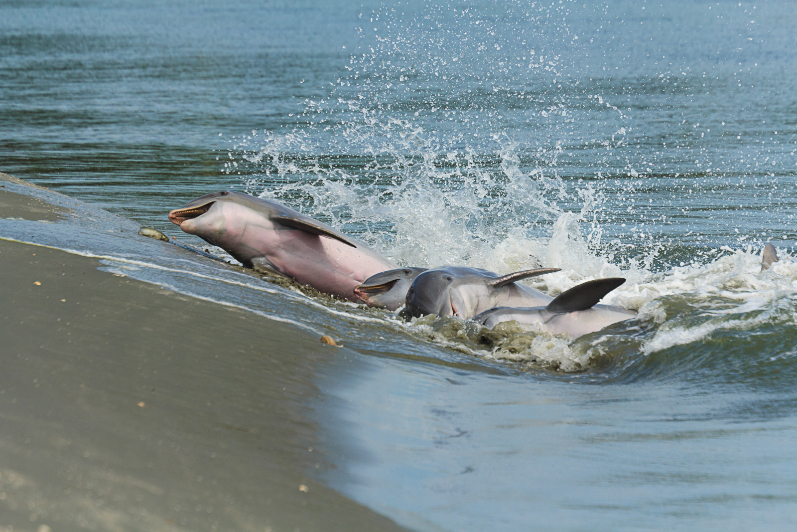 """HONORABLE MENTION Amateur category: Dolphin Strand Feeding by Patricia Schaefer; """"Dolphin strand feeding is a unique behavior seen in the Charleston area. The dolphin work together using echolocation to toss fish up onto the shore and then throw themselves on the bank to feed. They safely return to the water to try again if they are still hungry. Taken on Seabrook Island on September 15, 2015."""""""