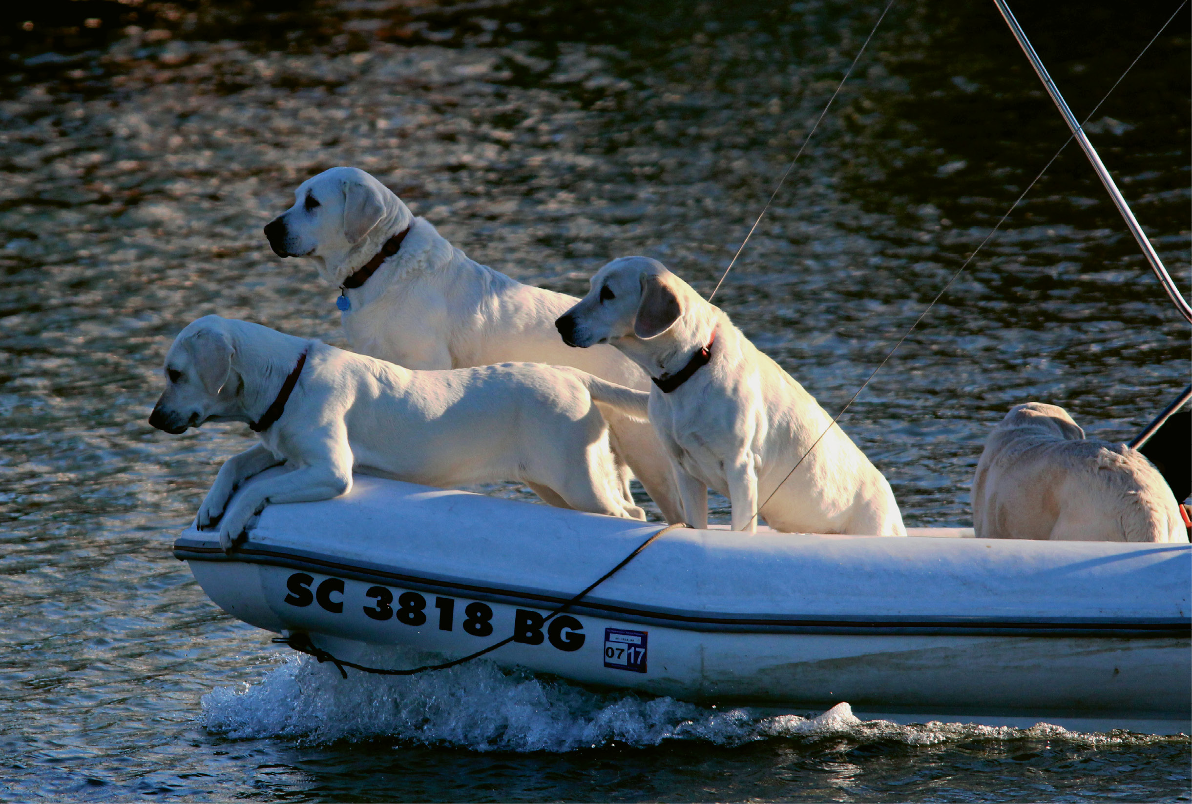 Lab-a-boat Retrievers by Harry Phillips  {Amateur category} - Captain's best friends cruising up the Cooper River in February 2015