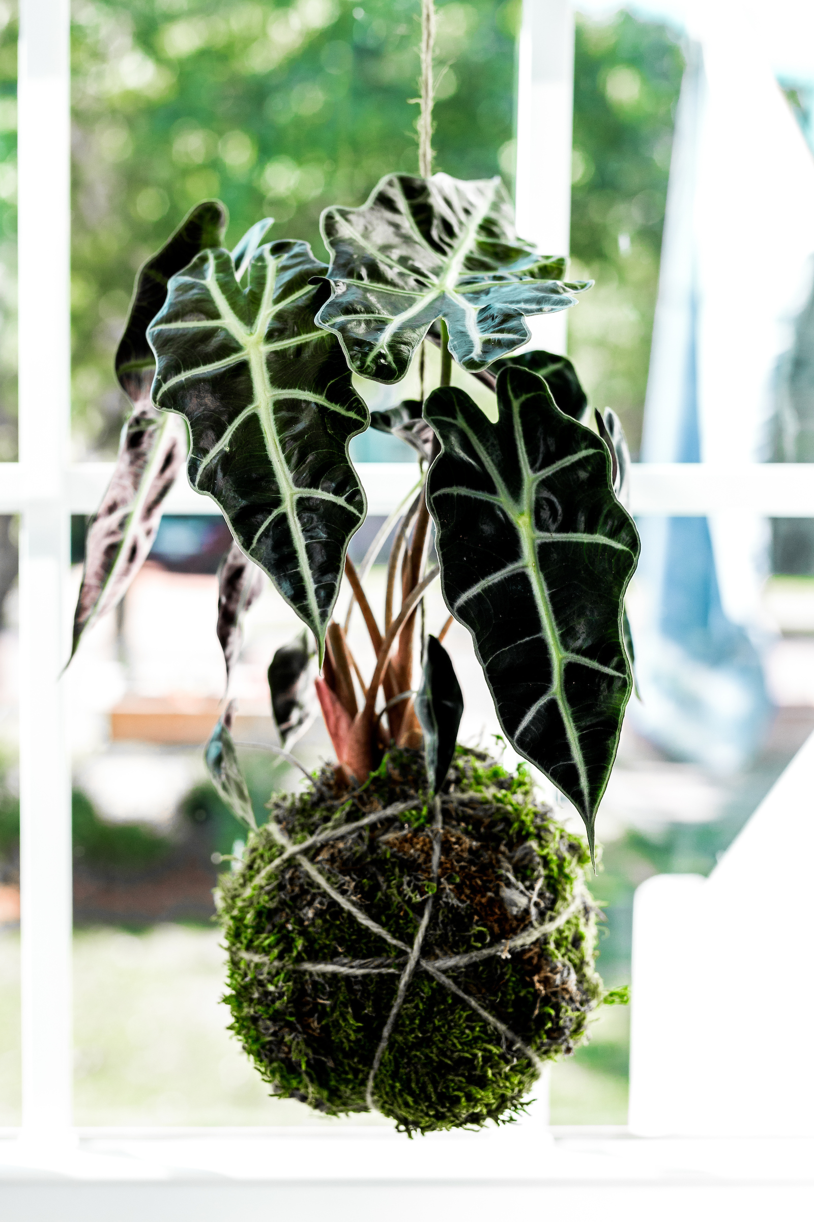 Hang Alocasia Amazonica near a window, but know that it won't do well in direct sunlight.