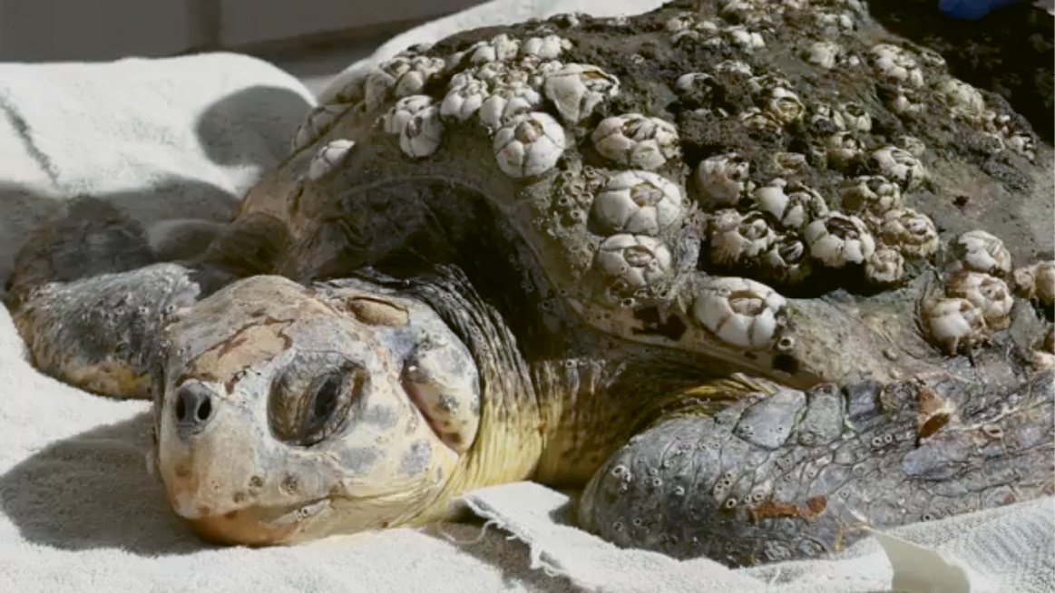 """Hank's Journey Home: """"Hank"""" the juvenile loggerhead—injured by boat strikes and anemic—was rescued by the DNR, rehabilitated at the South Carolina Aquarium, and released back into the Atlantic a few months later"""