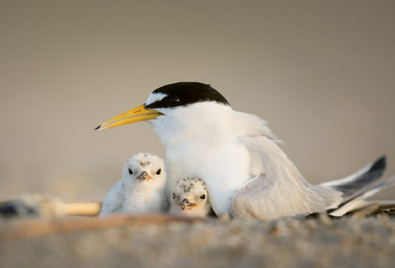 "Least Tern (Sterna antillarum) - In the summer, tern chicks left alone for mere minutes can succumb to the scorching heat. Give them a better shot at survival by not disturbing birds on the beach. Learn more about seabirds at <a href=""https://www.allaboutbirds.org/"">https://www.allaboutbirds.org/</a>."