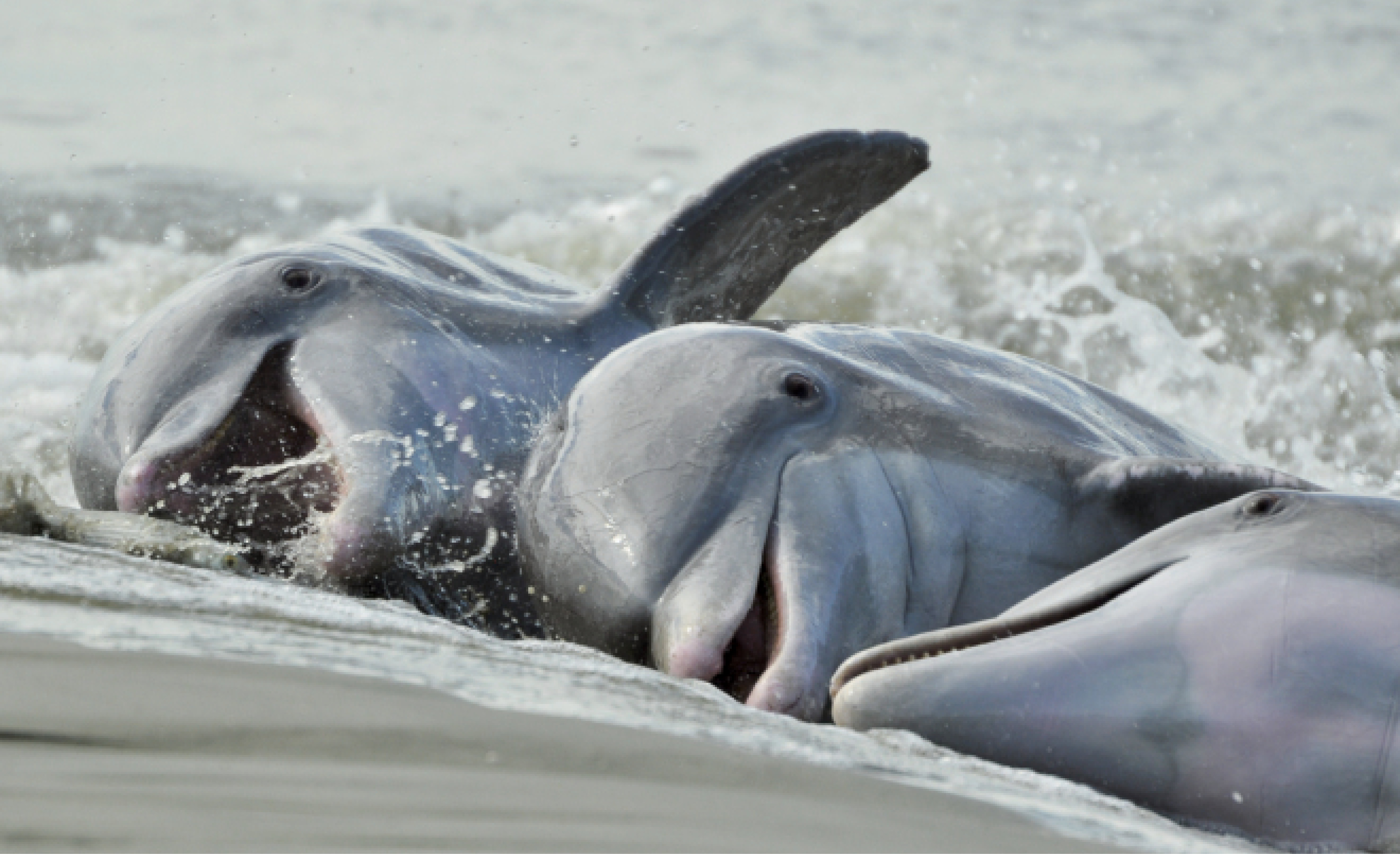 """Alfresco Dining: Some of Charleston's Atlantic bottlenose dolphins are known for a unique, learned behavior called """"strand feeding,"""" which entails herding fish onto a bank, then momentarily """"stranding"""" themselves on shore to catch their dinner."""