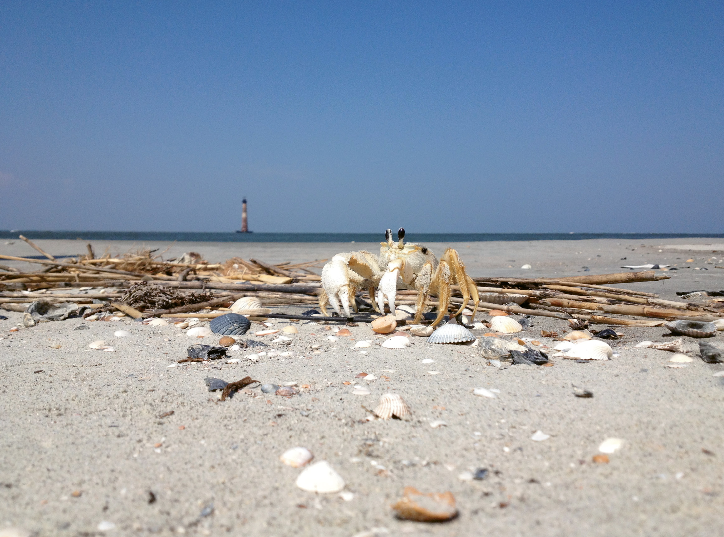 Up Close & Personal by James C. Smith  {Amateur category}  - A ghost crab with Morris Island Lighthouse in the distance