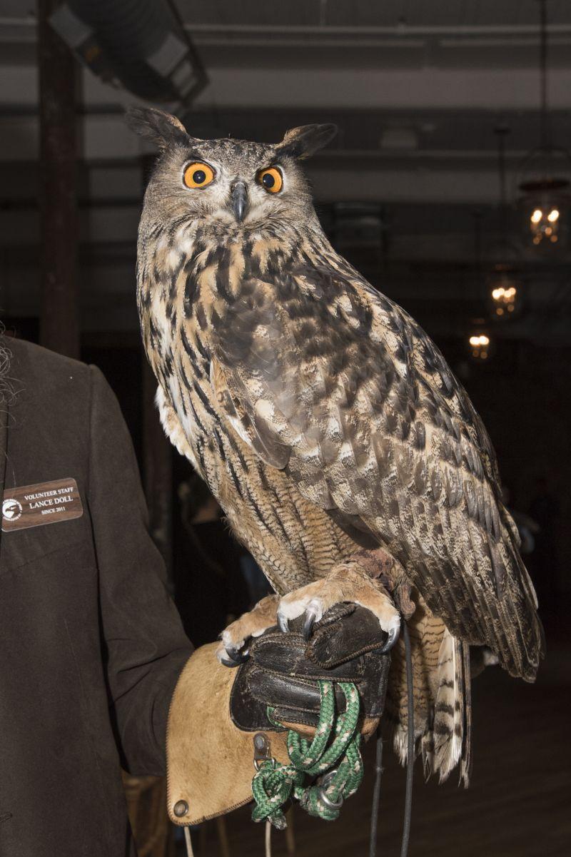"The Urasian eagle owl, whose scientific name is ""Bubo bubo"""