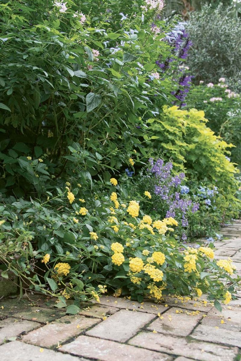 Susan added 'Amistad' salvia to conceal a shed, then began developing an English-garden aesthetic by planting annuals like cleome, coleus, and angelonia in drifts.